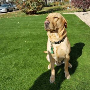 Artificial Grass for Dogs - Charlie's New Lawn